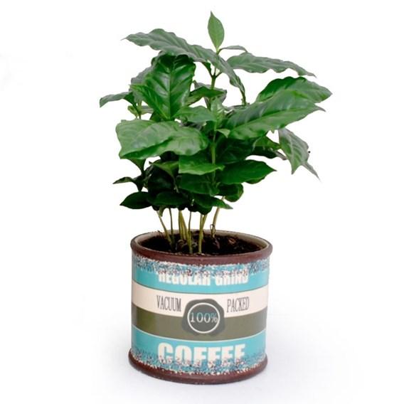 Coffee Plant in a Mug
