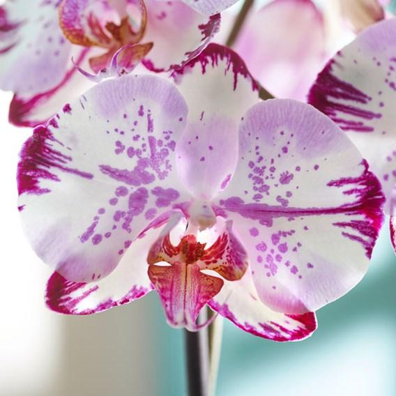 Orchid Phaleonopsis Rose Magic Art
