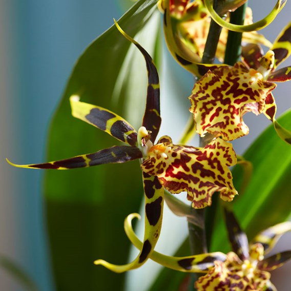 Orchid Brassia Summer Dream