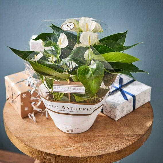 Anthurium Table Top White