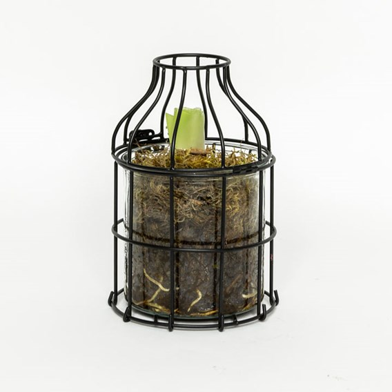 Amaryllis in Metal Outer