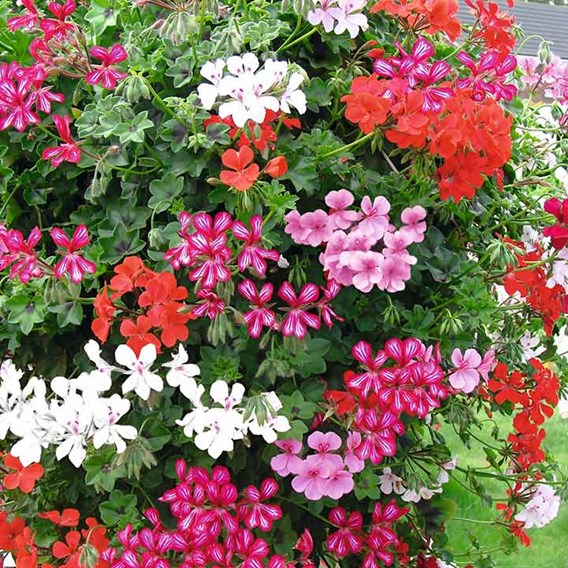 Geranium Trailing Mix Our Selection (20)
