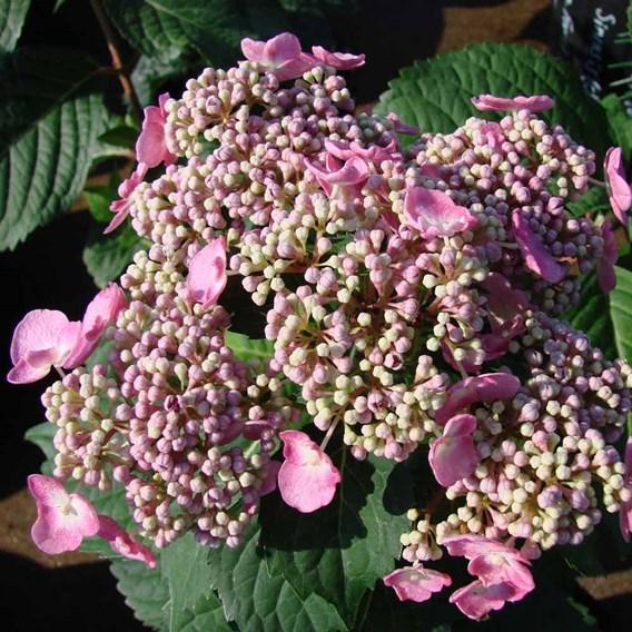 Hydrangea Plant - Endless Summer Twist 'N' Shout