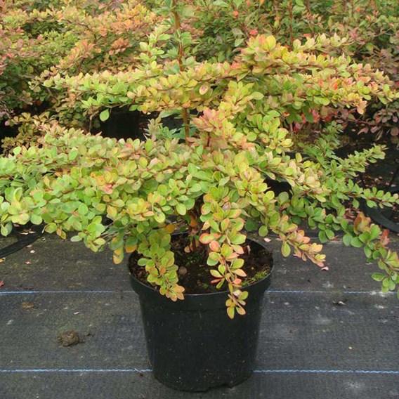 Berberis thunbergii Plant