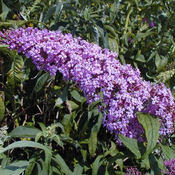 Buddleia davidii Plant - Pink Delight