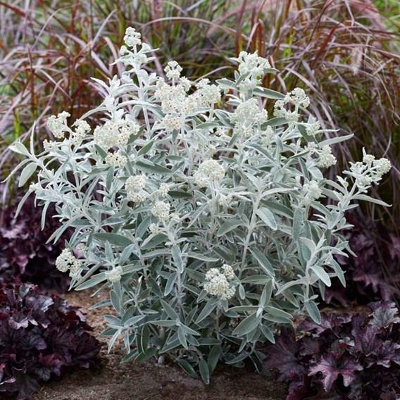 Buddleja Plant - Silver Anniversary®