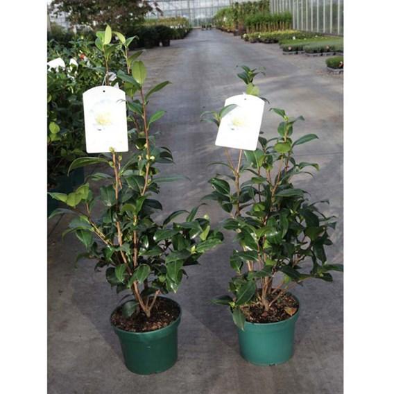 Camellia japonica Plant - Jury's Yellow