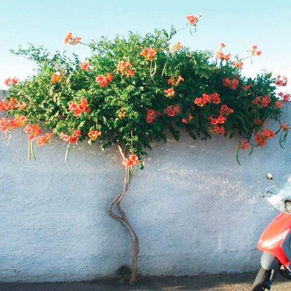 Campsis radicans Plant - Indian Summer