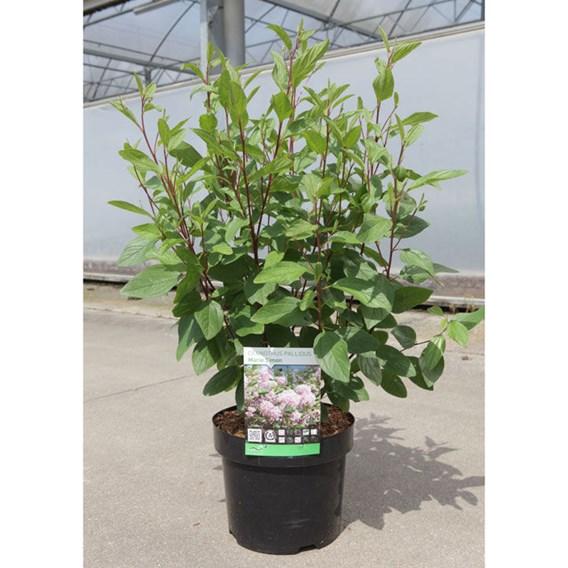 Ceanothus pallidus Plant - Marie Simon