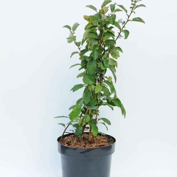 Chaenomeless superba Plant - Clementine