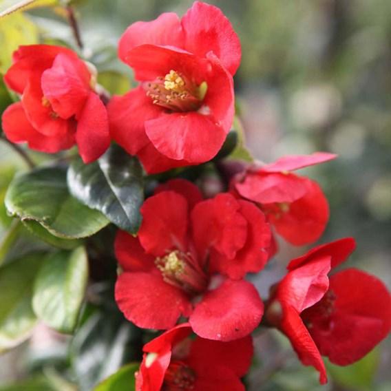 Chaenomeless superba Plant - Fascination