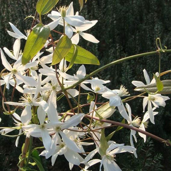 Clematis armandii Plant 2-3 Litre Pot x 1