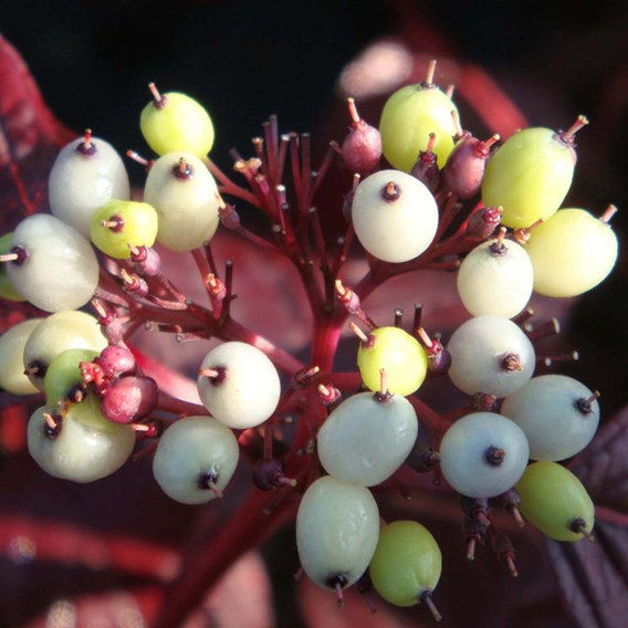 Cornus Alba Siberian Pearls