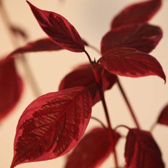 Cornus alba Plant - Sibirica Variegata