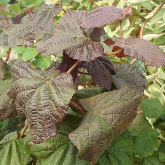Corylus avellana Plant - Red Majestic®