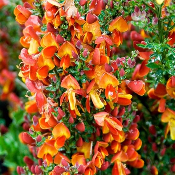 Cytisus Plant - Lena