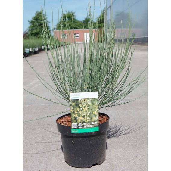Cytisus praecox Plant