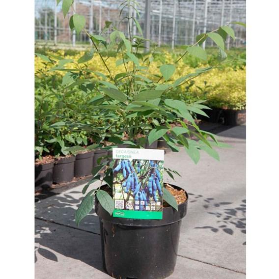 Decaisnea fargesii Plant 2Ltr