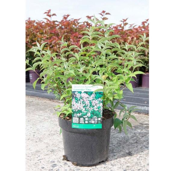 Deutzia compacta Plant - Lavender Time