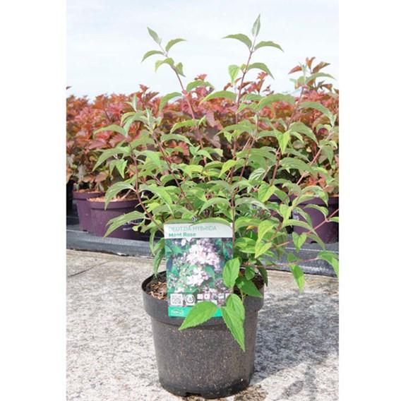Deutzia hybrida Plant - Mont Rose