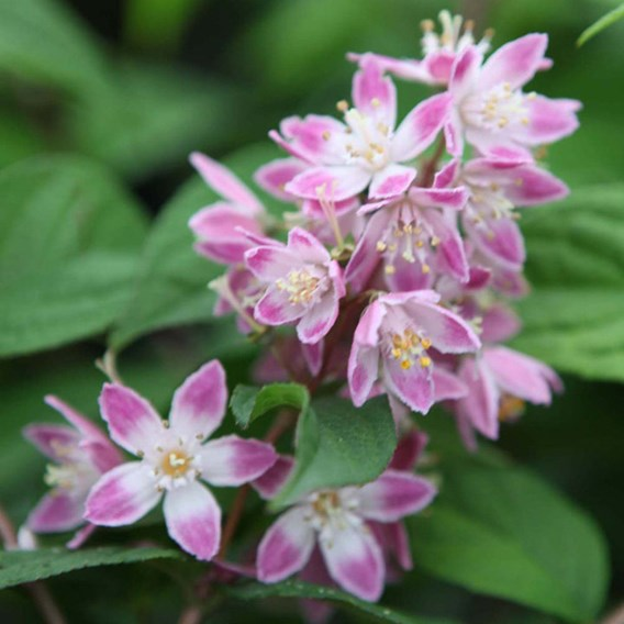 Deutzia Hybrida Tourbillon Rouge