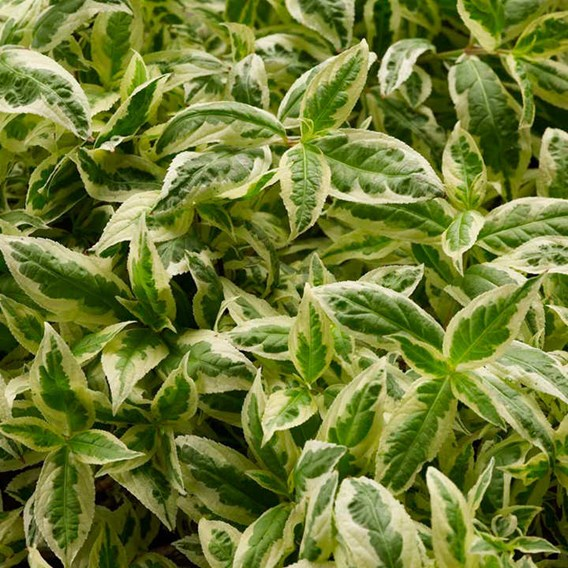 Diervilla sessilifolia Plant - Cool Splash® First Editions®