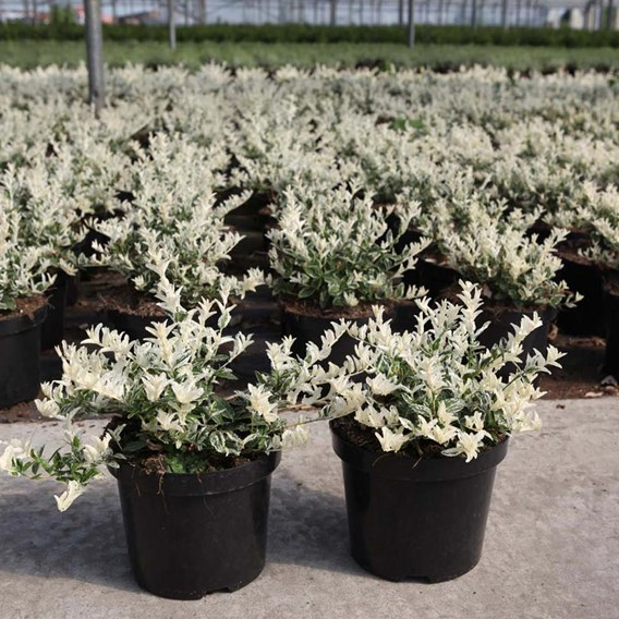Euonymus fort. Plant - Harlequin