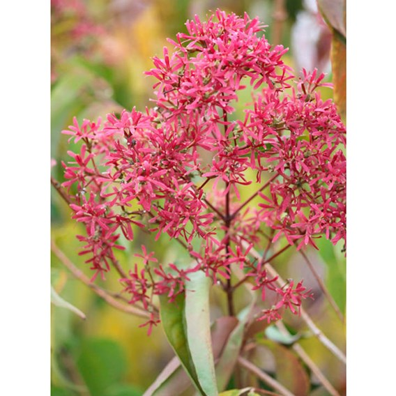 Heptacodium miconioides Plant
