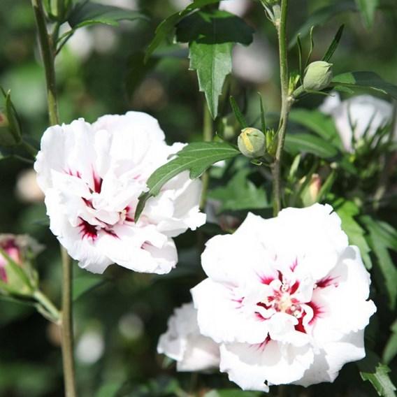 Hibiscus syriacus Plant - Lady Stanley