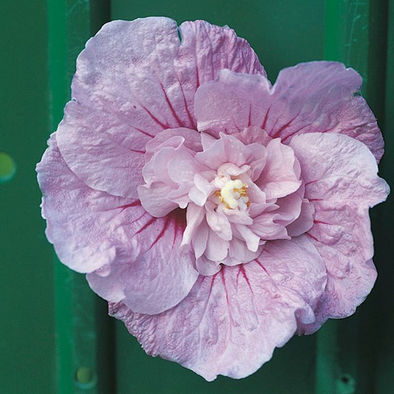 Hibiscus Syr. Lavender Chiifon Noble
