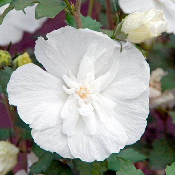 Hibiscus Syr. White Chiffon Noble