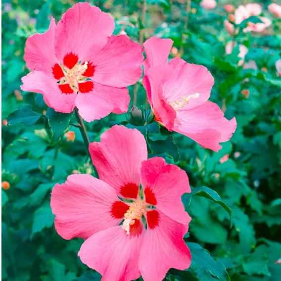 Hibiscus Syr. Woodbridge