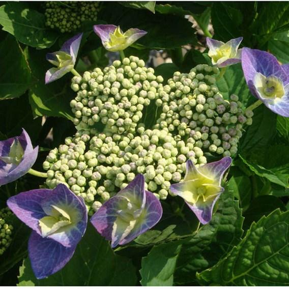 Hydrangea m. Plant - Blaumeise (Teller Blue)