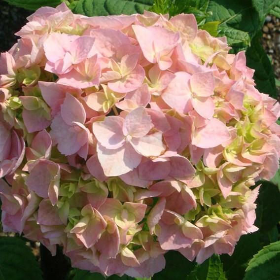 Hydrangea M. Bouquet Rose