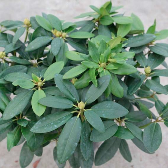 Rhododendron Plant - Catawb. Grandiflorum