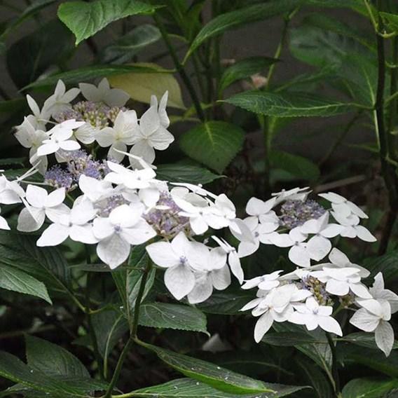 Hydrangea M. Lanarth White