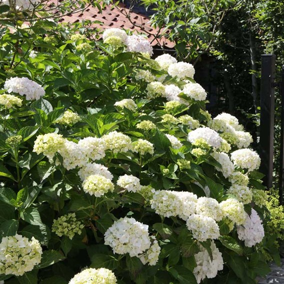 Hydrangea marcophylla Plant - Soeur Thérèse
