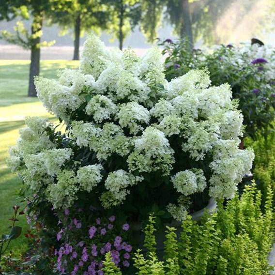 Hydrangea paniculata Plant - Bobo®