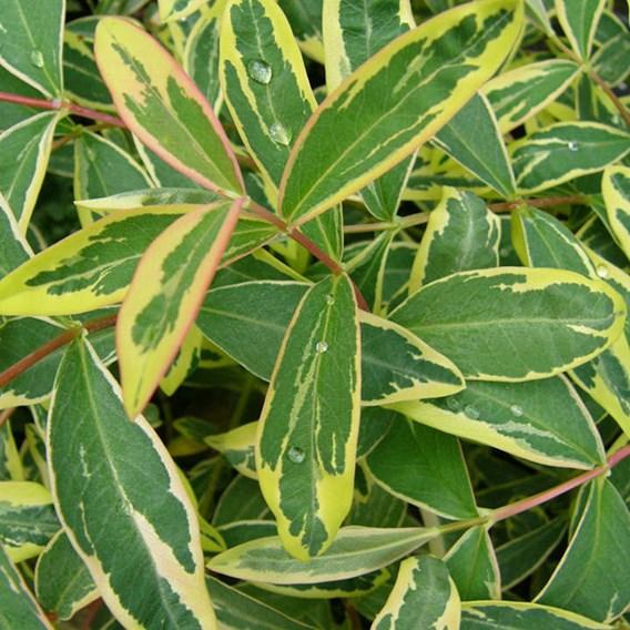 Hypericum calycinum Plant - Carnival