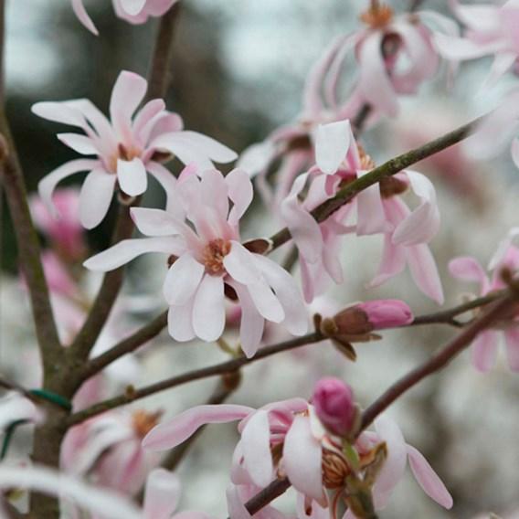 Magnolia loebneri Plant - Leonard Messel