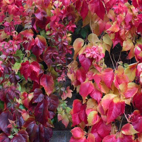 Parthenocissus henryana Plant