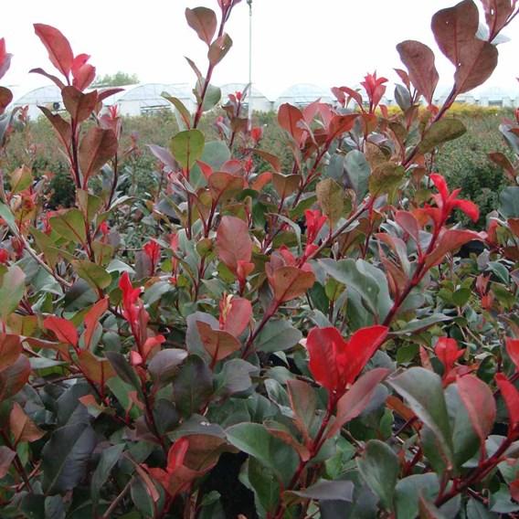 Photinia Fraseri Red Robin