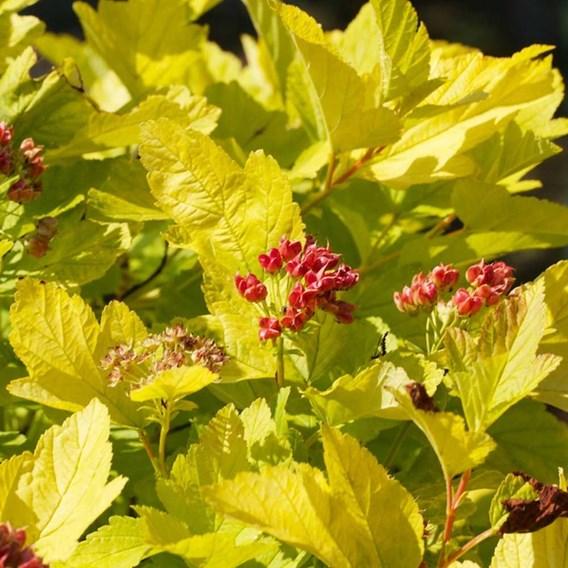 Physocarpus Opulifolius Angel Gold