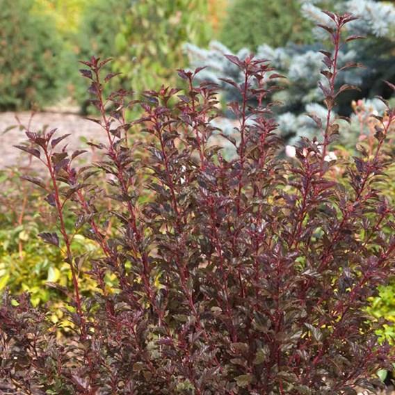 Physocarpus Opulifolius Summer Wine