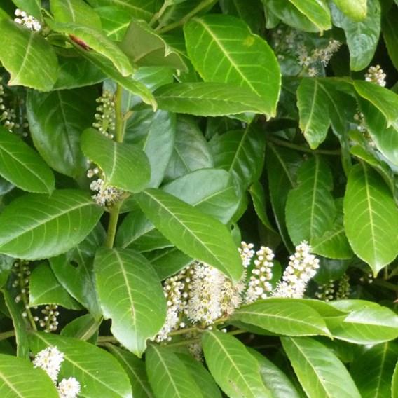 Prunus Laurocerasus Plant - Rotundifolia