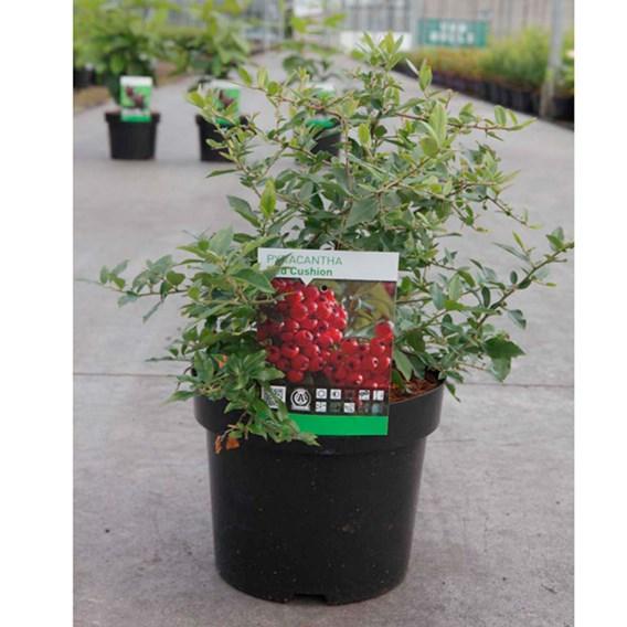 Pyracantha coccinea Plant - Red Column