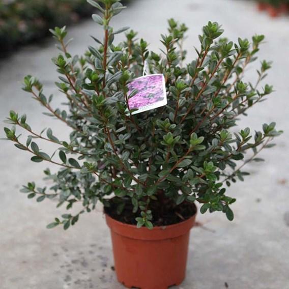 Rhododendron (AJ) Plant - Ardeur