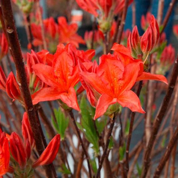 Rhododendron (AM) Plant - Koningin Emma