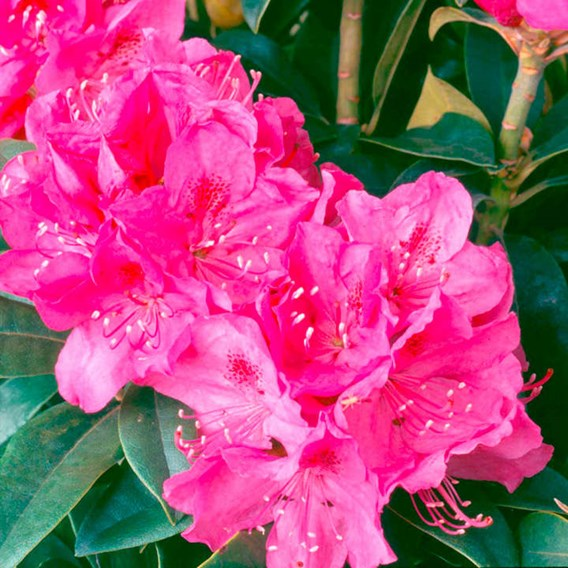 Rhododendron Plant - Anah Kruschke