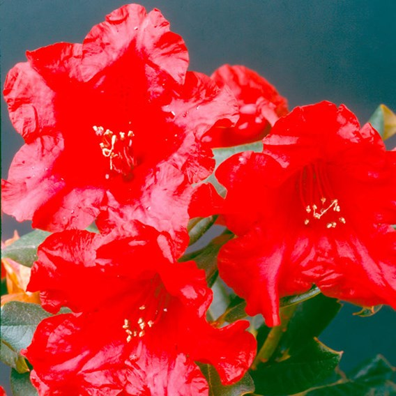 Rhododendron Plant - Baden-Baden